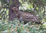 Spruce Grouse - Falcipennis canadensis