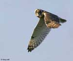 Short-eared Owl - Asio flammeus
