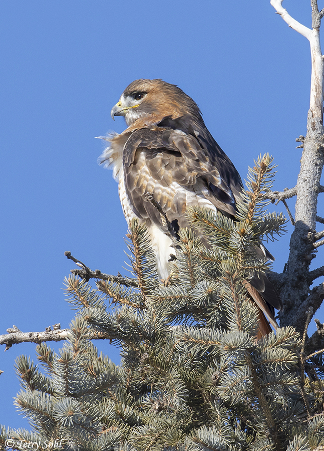 Photos of red tailed hawk buteo jamaicensis - Red tailed hawk wallpaper ...