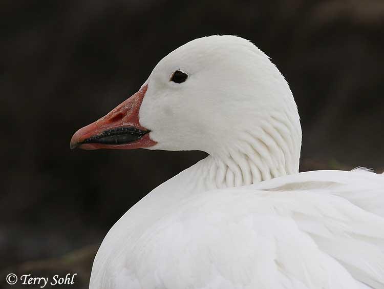 snow goose photo photograph picture