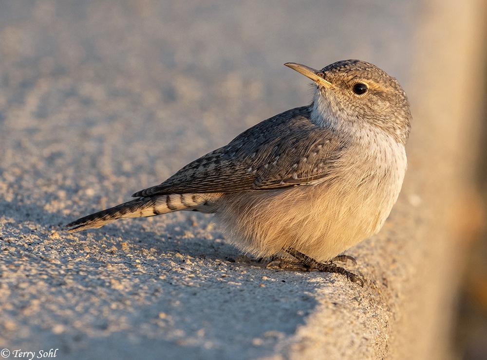 Rock Wren - South Dakota Birds and Birding
